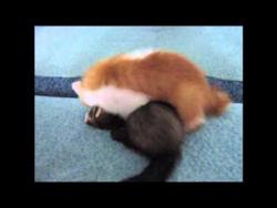 Котенок и хорек, битва титанов.