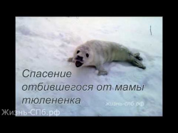 Спасение отбившегося от мамы тюленёнка