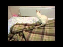 Тайские кошки играют в прятки! Это надо видеть! Funny Cats