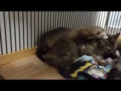 Кот заботится о хорьках /Cat cares about ferrets