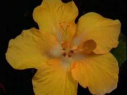 Танго цветов