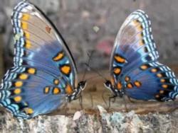 Пение бабочки