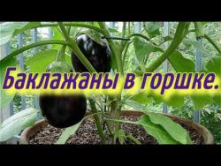 Баклажаны в горшке(часть-1).Баклажаны выращивание в горшке зимой в теплице.