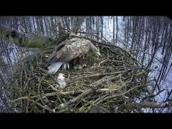 Редкие белохвостые орланы в Татарстане вывели птенцов