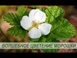 Цветение морошки: красота природы.