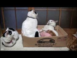 Очень серьезный кот - Батон, закошмарил всех обитателей дома. АВТОРИТЕТ КОТА ЗАШКАЛИВАЕТ!