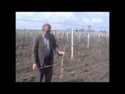 Формирование виноградного куста (part 2-1)