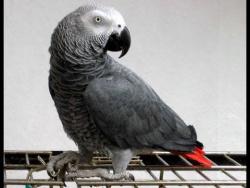 Очень интересный разговор попугая с мамой