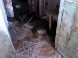 Котёнок играет  с хвостом собаки