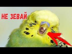 Попробуй не зевать ЧЕЛЛЕНДж Try not to yawn Pets challenge Домашние жиаотные зевают Funny Videos Ell