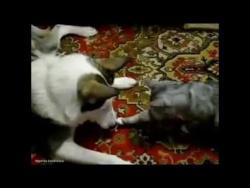 Кот, собака и кусок мяса.