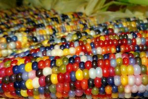 Разноцветная кукуруза