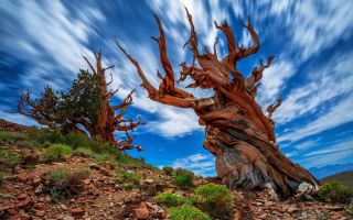 Какое истинное название самого старого дерева на Земле?