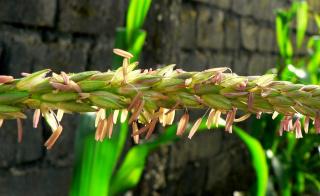 кукурузные рыльца...