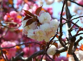 Нежные цветы сакуры