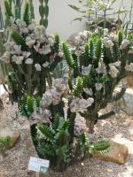 Букетики кактусовые:)