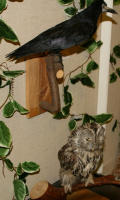 Грач и сова