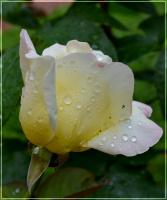 роза после дождя.