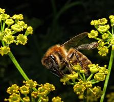 Просто пчела...