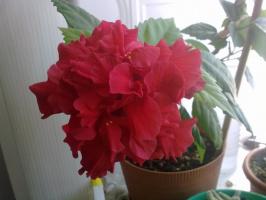 гибискус / китайская роза