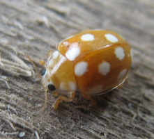Желтый жук