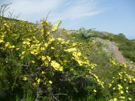 Шиповник желтый кокандский.