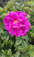В сентябре у нас цветет шиповник