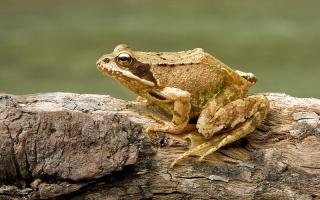 Каким образом самцы лягушек возбуждают самку?