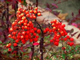 Ноябрьские ягоды