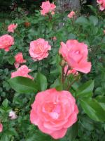 Розы. Июнь 6, 2013
