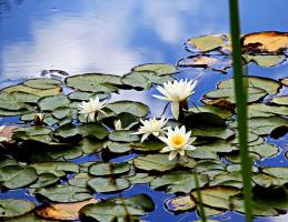 В укромном царстве водяных лилий (взгляд сквозь заросли осоки)