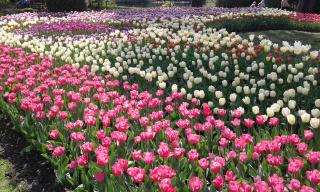 Тюльпаны на Елагином