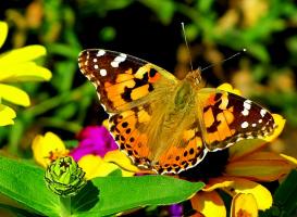 """""""Я у милой бабочки Тихо-тихо спрашивал: - Бабочка, скажи мне, Кто тебя раскрашивал? Прошептала бабочка, В красоту одета: - Всю меня раскрасило Лето, лето, лето!"""""""