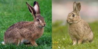 Можно ли скрестить зайца с кроликом?