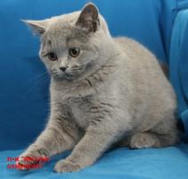 Голубой британский котенок.