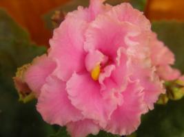фиалка розовая махровая