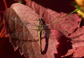 Стекоза на красных листьях