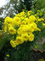 Хризантемы в октябре.
