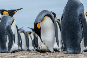 Фолклендские острова. Пингвины готовятся стать родителями. Пары по очереди греют яйцо около двух месяцев.