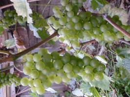 Виноград неукрывной