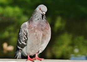 Грустный голубь