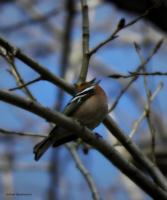 Пение птицы.