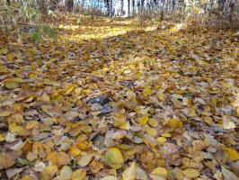 У какого дерева осенью листья опадают, не меняя цвета?