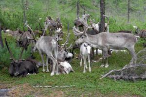 Забайкальские северные олени