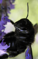 Портрет Чёрного принца ! Или УСПЕХ после трёх недель упорной охоты !!! находится в Красной Книге многих стран . Знакомьтесь : Пчела -плотник .