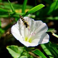 Вьюнок полевой с мухой журчалкой