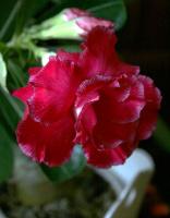 Adenium Valentine Rose
