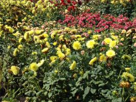 Жёлтые георгины отцветают раньше