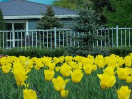 Желтые тюльпаны..