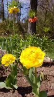 Тюльпаны и Fritillaria Imperialis